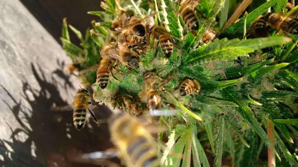 api-marijuana