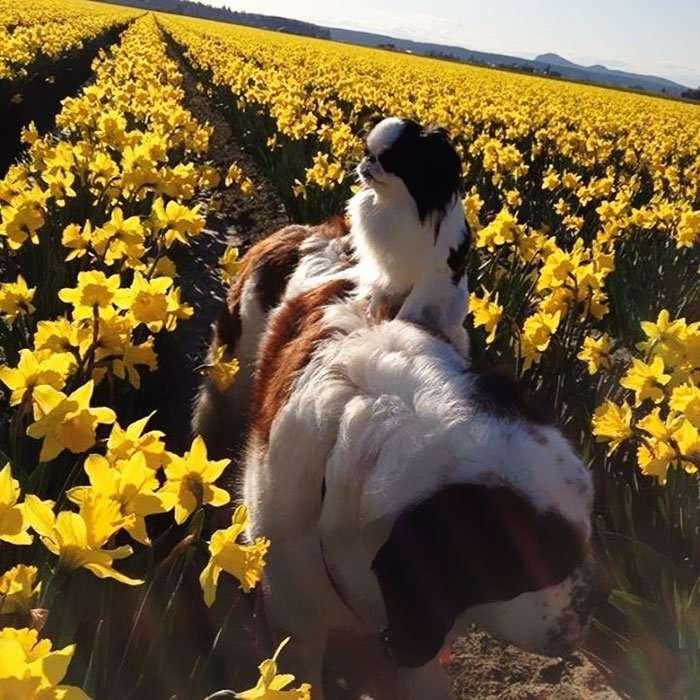 cane cammina sulle spalle del san bernardo