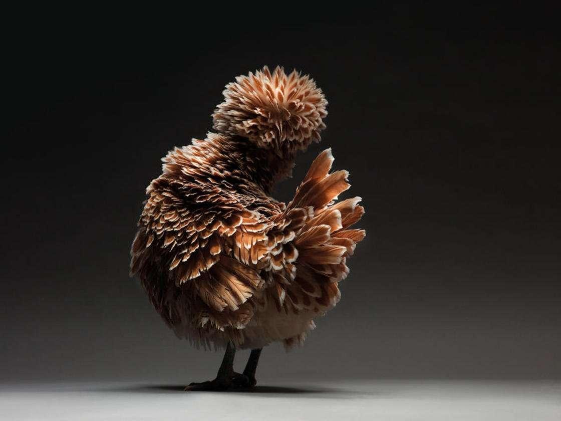 le più belle galline del mondo