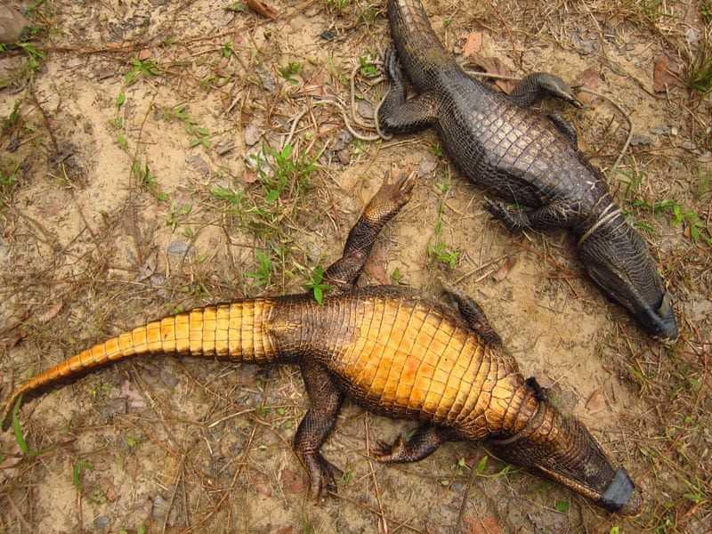 coccodrilli del gabon