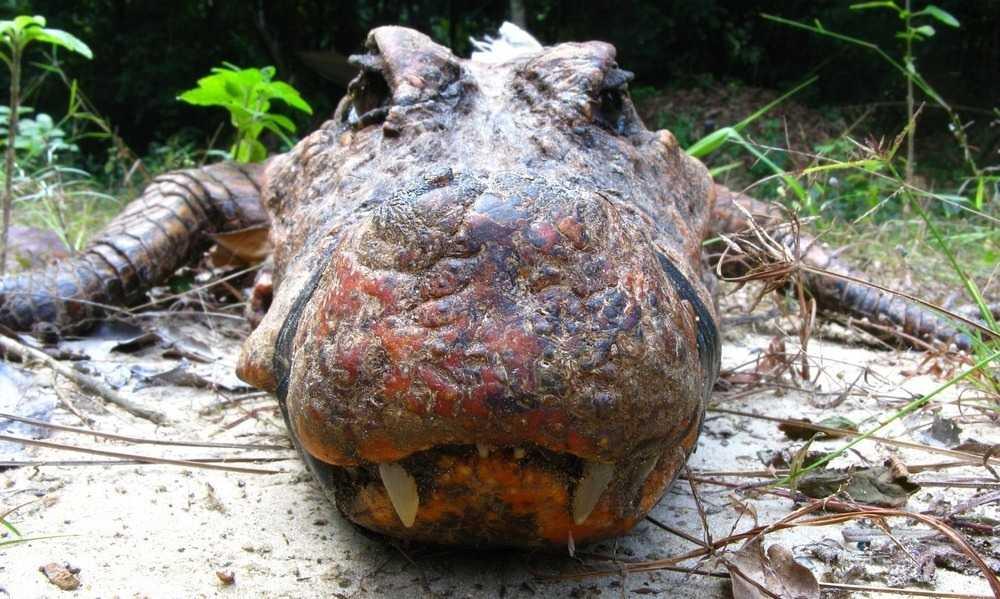 coccodrilli arancioni