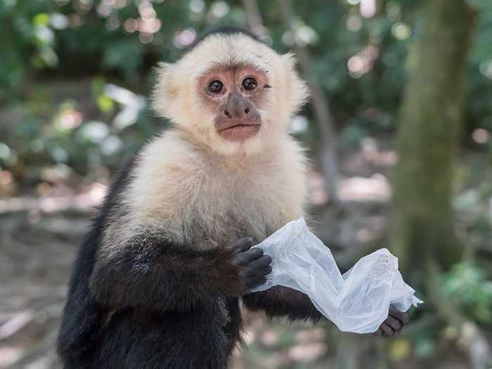 Insegnano alle scimmie a usare il denaro e loro imparano a rubare e a scambiarlo per sesso