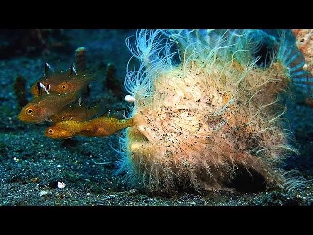 Il pesce rana peloso e la bocca più veloce in natura. 1/6000 di ...