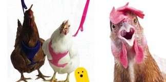 pettorina gallina