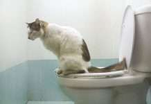 gatto su water