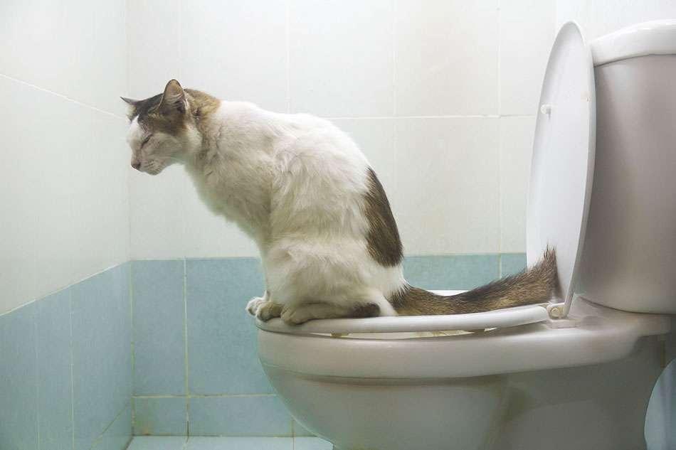 gatto su water