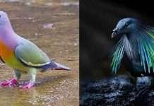 i piccioni più belli del mondo