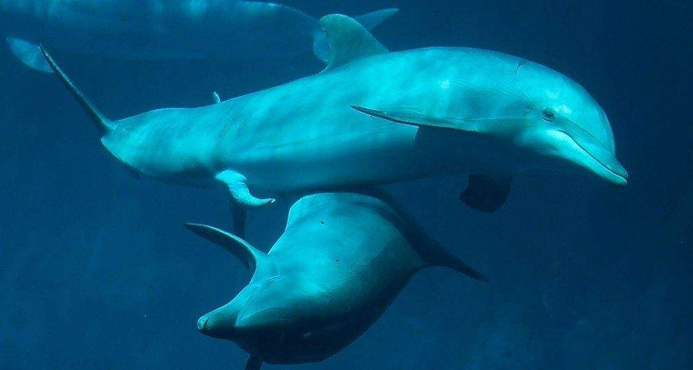 pene delfini