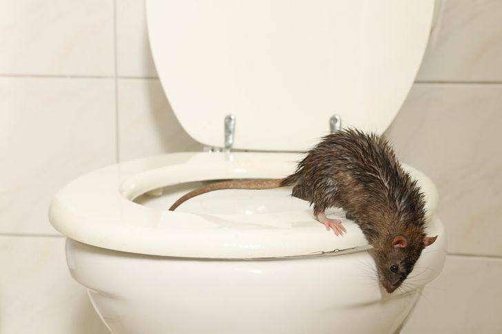 Quali animali possono spuntare dal tuo wc e come evitare che accada