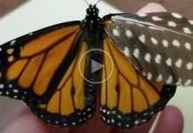 farfalla ala rotta riparata con piuma
