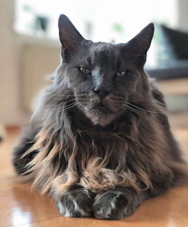 L'incrocio perfetto tra un leone e un gatto, una delle espressioni estetiche più belle che abbia mai visto della parola felino.