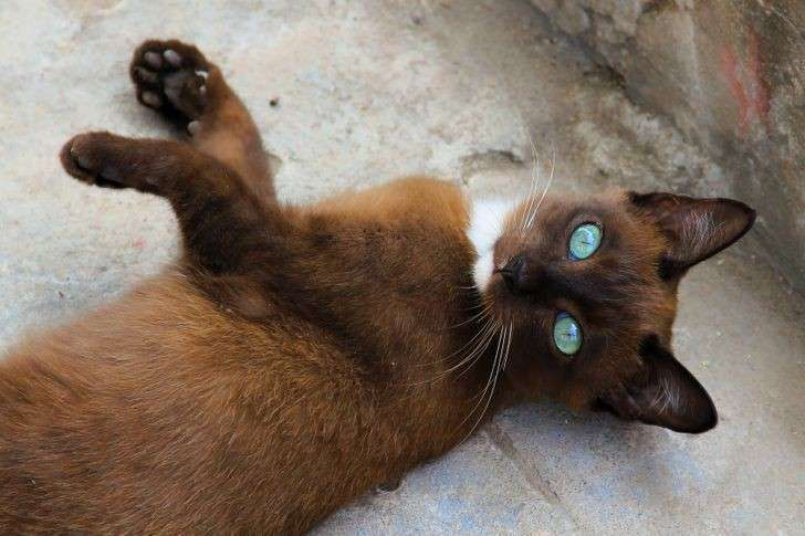 Gli occhi di questo gatto, color ghiaccio, sono talmente perfetto sul suo manto da renderlo bellissimo.